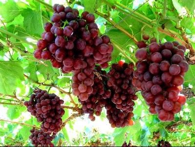 Anggur Merah Tunda Penyakit Alzheimer
