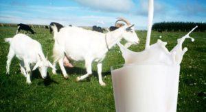 Susu Kambing Lebih Baik daripada Susu Sapi Loh
