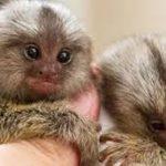 Ini Fosil Monyet Terkecil di Dunia Yang Ditemukan di Amazon