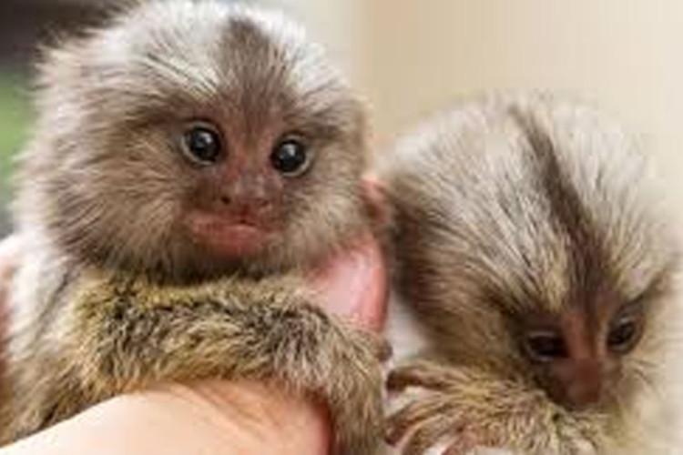Monyet terkecil