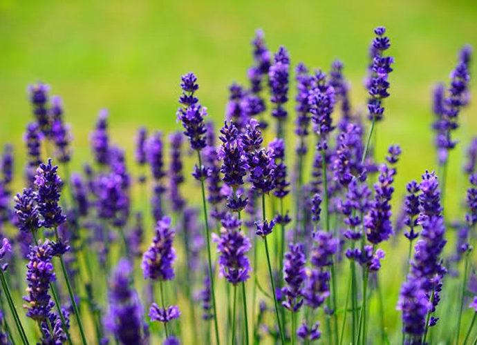 Lavender Atasi Hipertensi