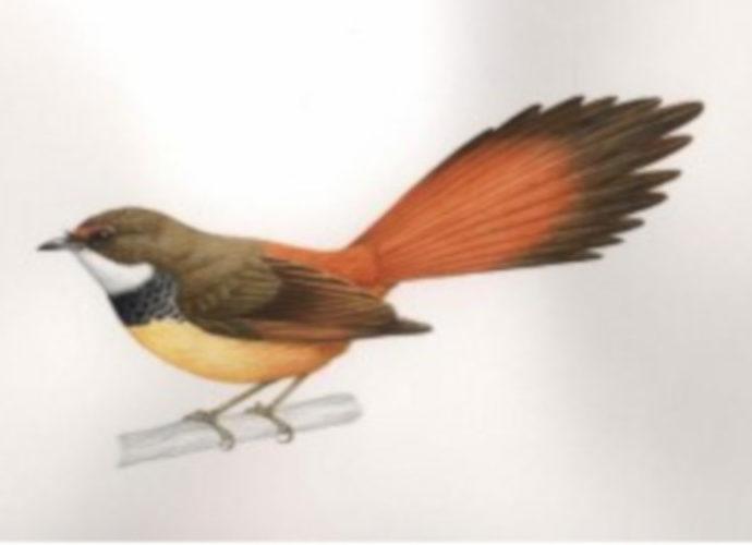Salah satu taksa baru burung temuan LIPI